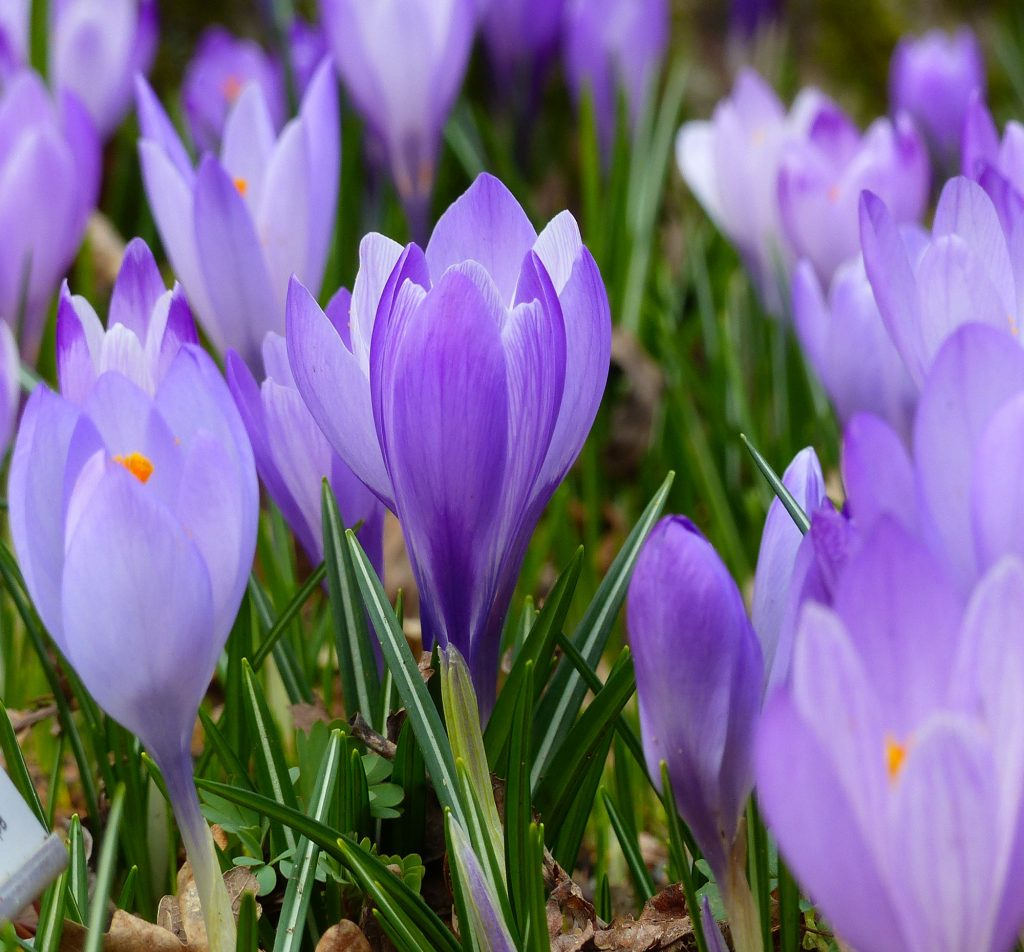 Purple Crocus Hulsebosch