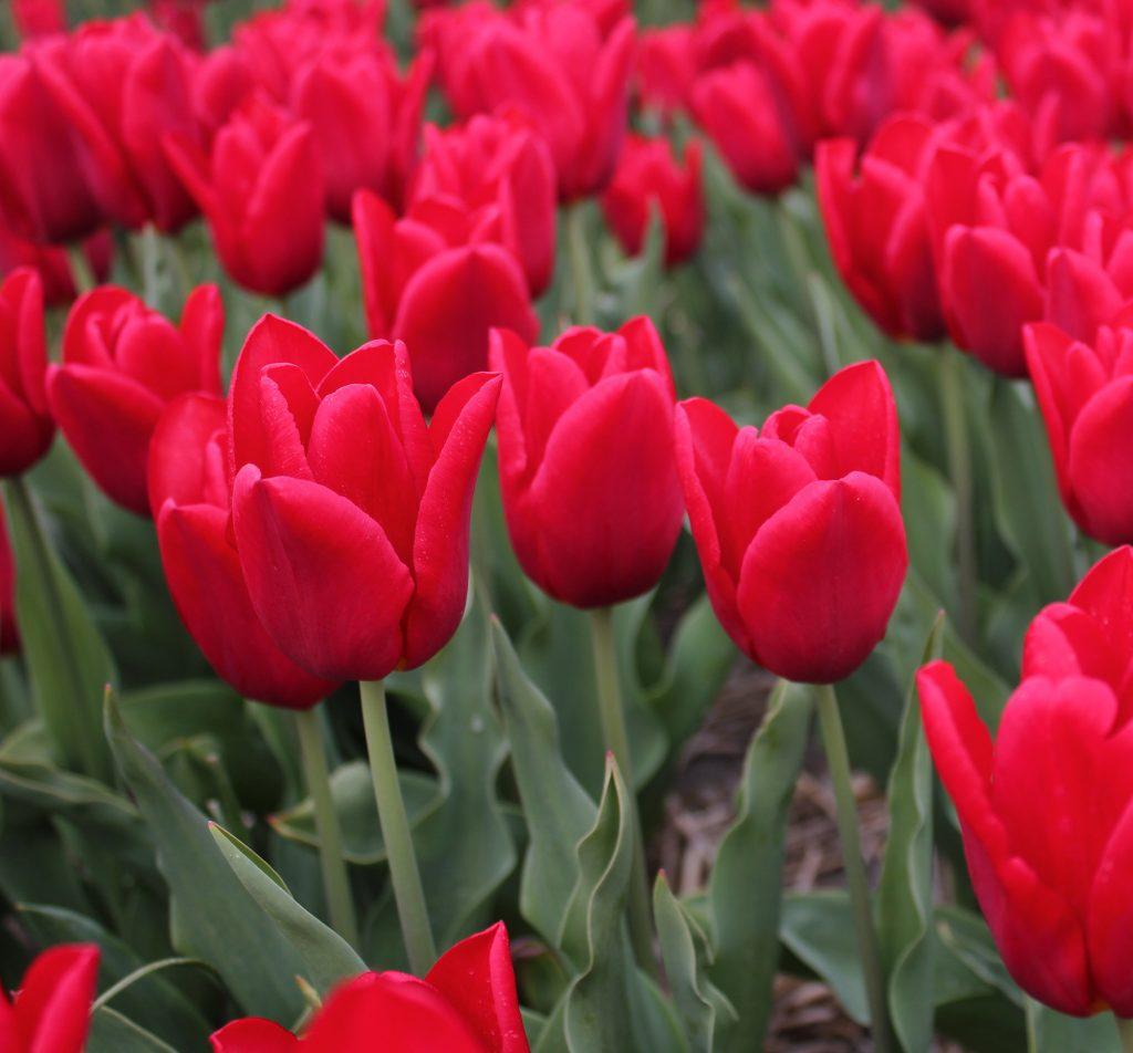 Hulsebosch Strong Love Tulips