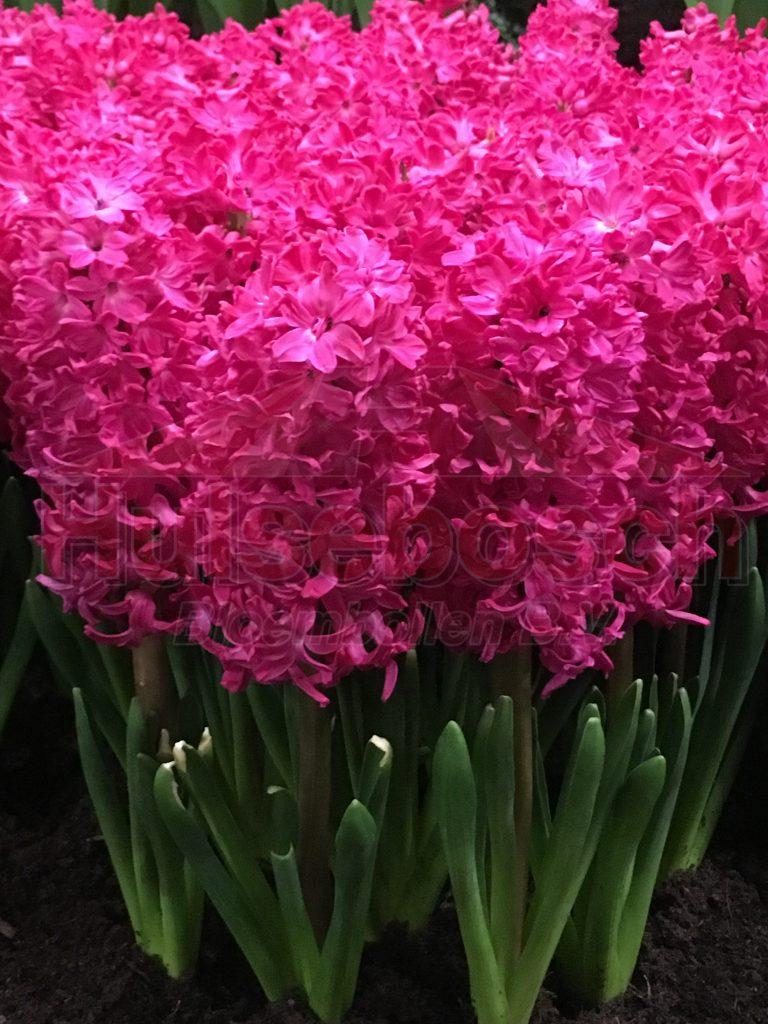 Groep roze Jan Bos met steel