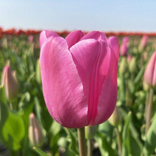 Lincoln tulipa