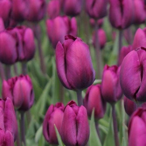 Assortiment - Purple lady